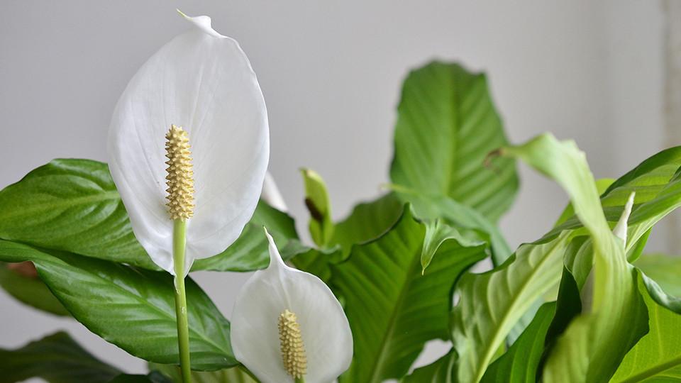 Lirio de la paz (Spathiphyllum)