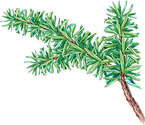 PIne%20Tree%20Branch_edited.png