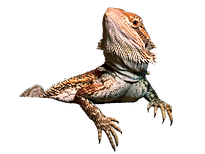 kisspng-agama-lizard-central-bearded-dra