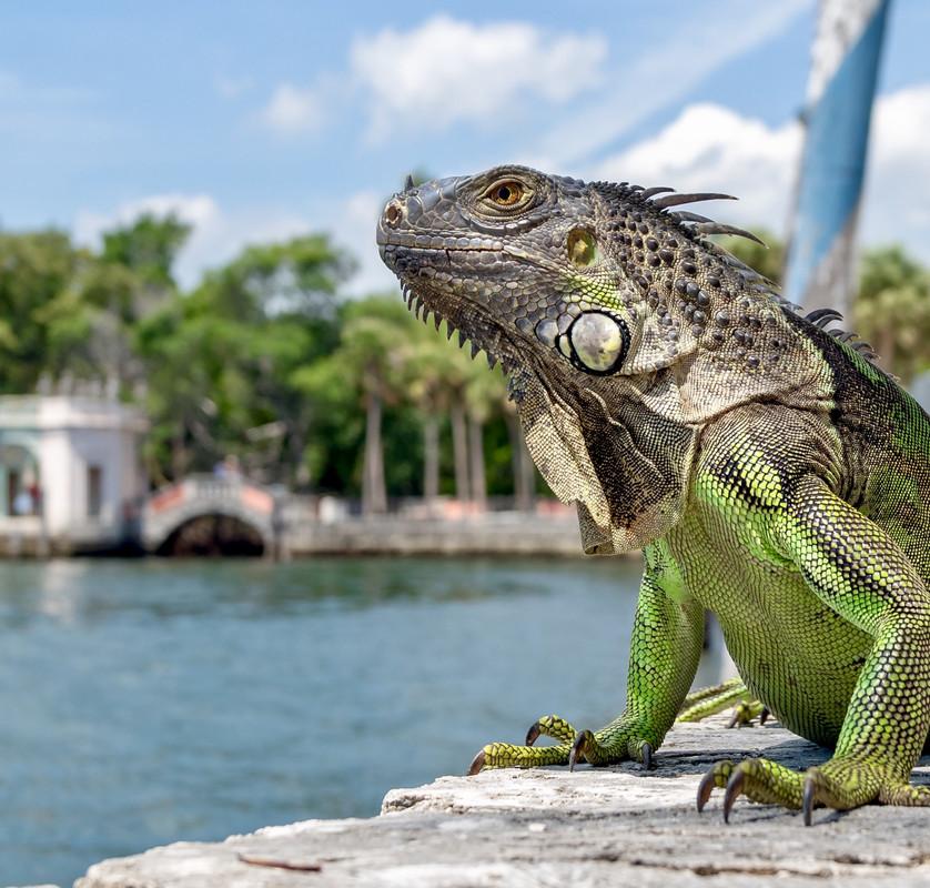 The Iguana guy 01.jpg