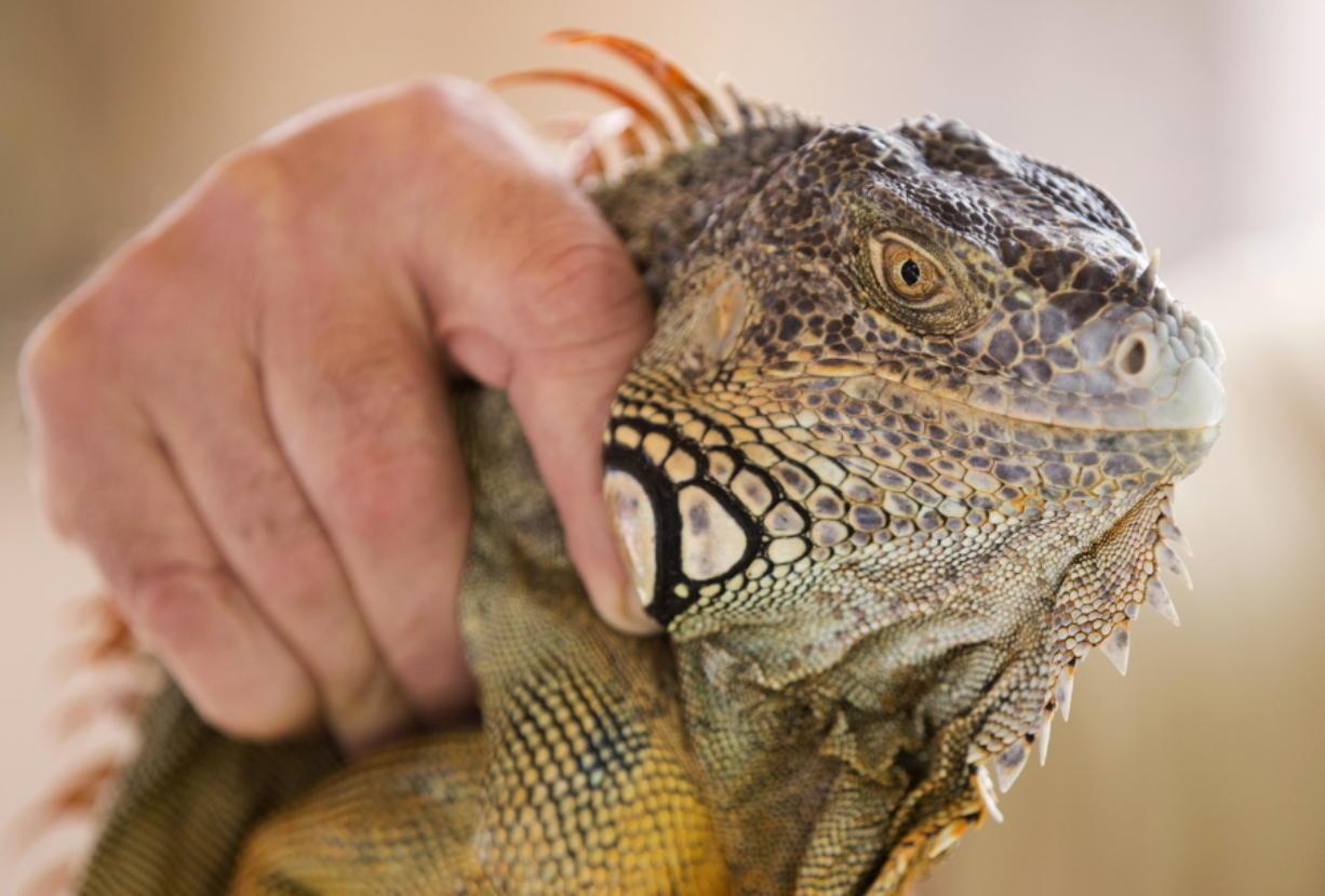 The Iguana guy 02.jpg