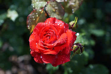 rose-809158_1920.jpg