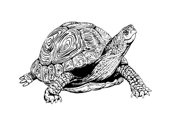 Turtle Standing.jpg