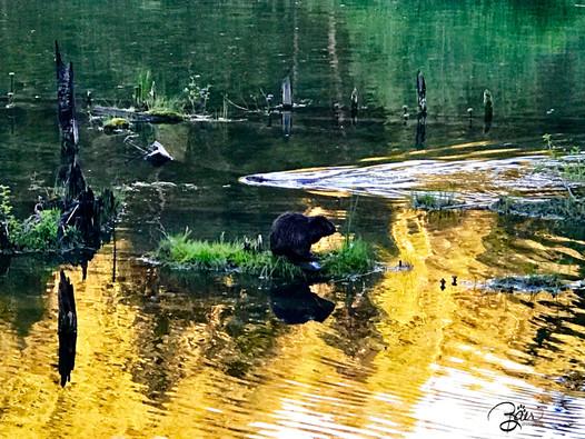Dam Beavers!