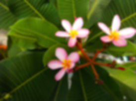 Taiwan Plumeria
