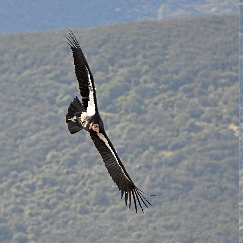 Condors62.jpg