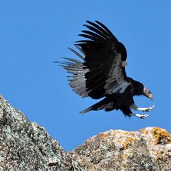 Condors77.jpg