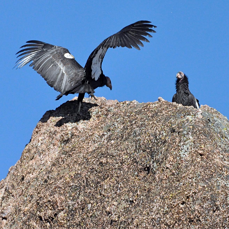 Condors82.jpg