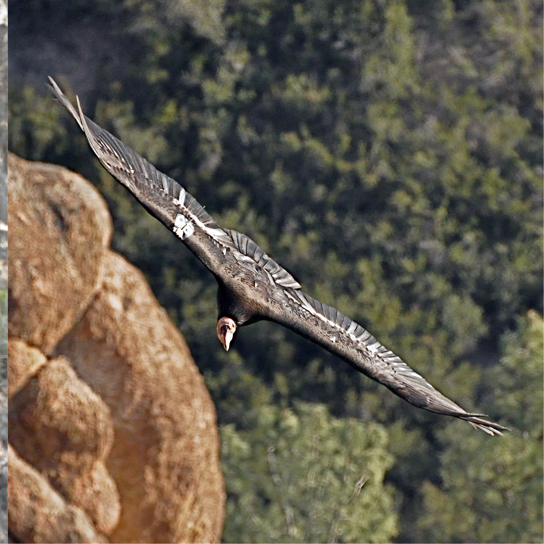 Condors71.jpg