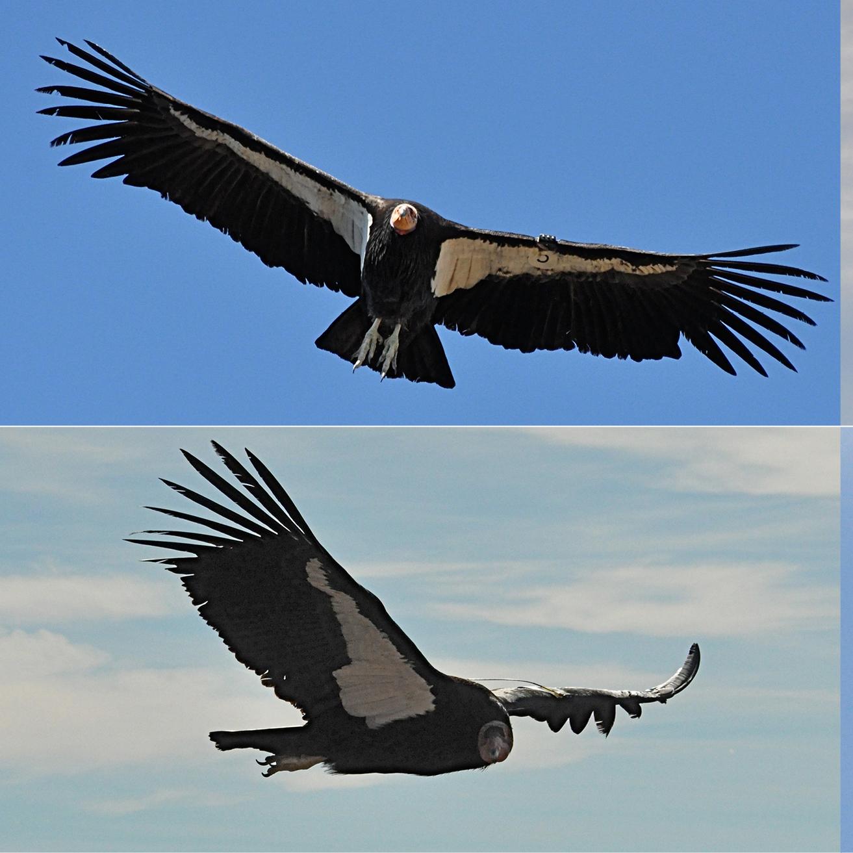 Condors50.jpg