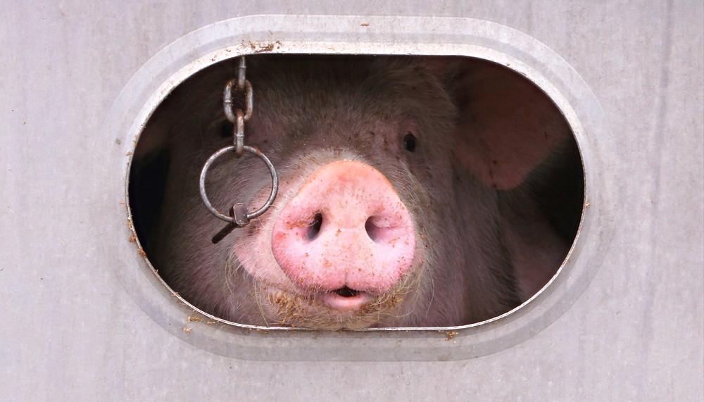 Cerdo encerrado esperando ser sacrificado