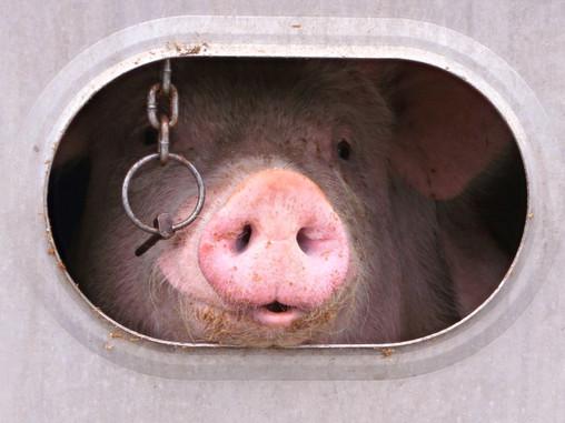 Explotación animal: La alimentación