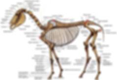 skeleton-backmarked2.jpg