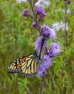 Monarch Butterflies on Rough Blazing Star