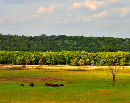 Bison on Prairie