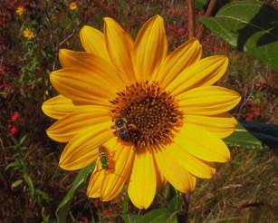 Honey Bee & Flower Bee Maximilian's Sunflower