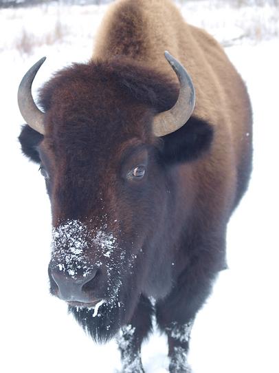 bison1.png