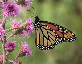 Mighty Monarch