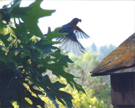 Male Eastern Bluebird Bringing Dinner Home