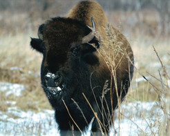Frosty the Bison