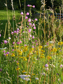 Blumenwiese-rosa-gelb
