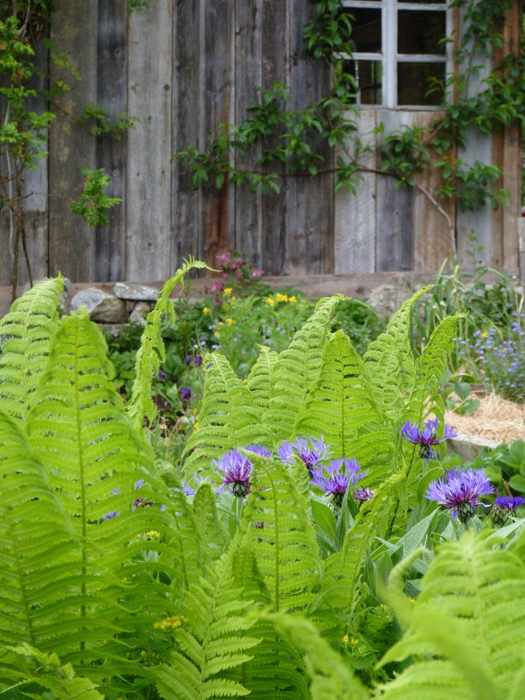 Farn-Flockenblume