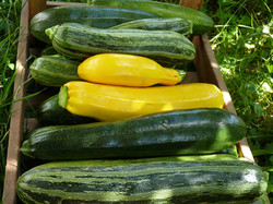 Zucchini-quer