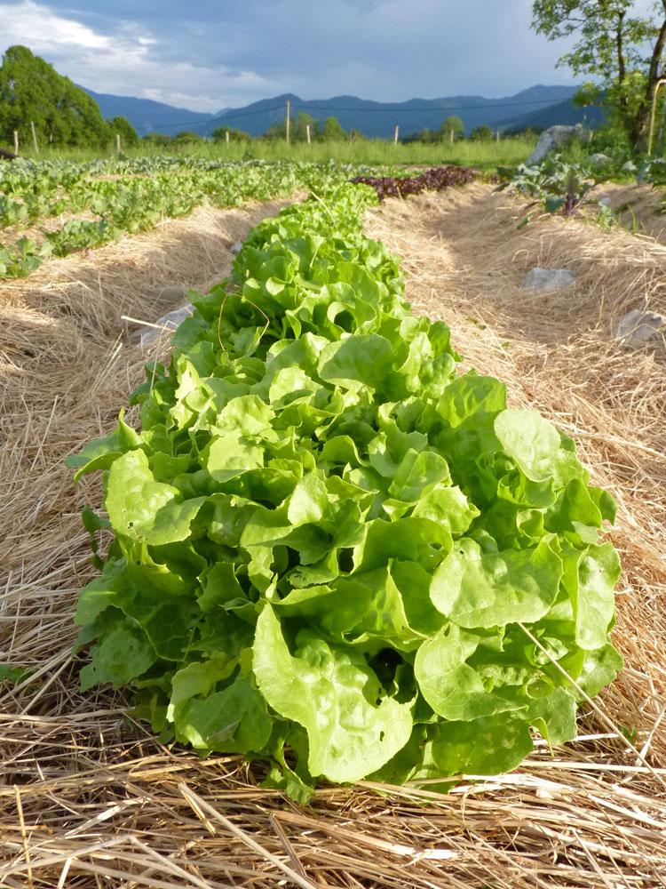 Salat-im-Garten