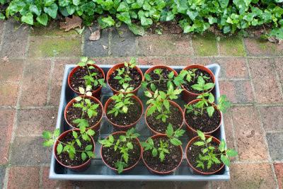 Tomaten-Pflanzen zu verkaufen