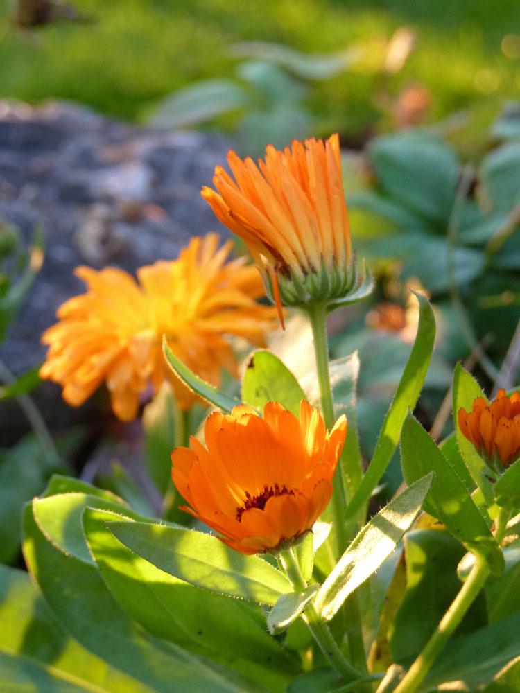 Ringelblumen-Herbst