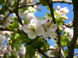 Apfelbluete1