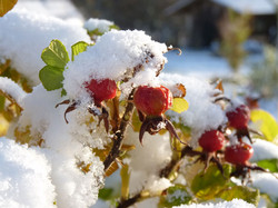 Hagebutte-Schnee