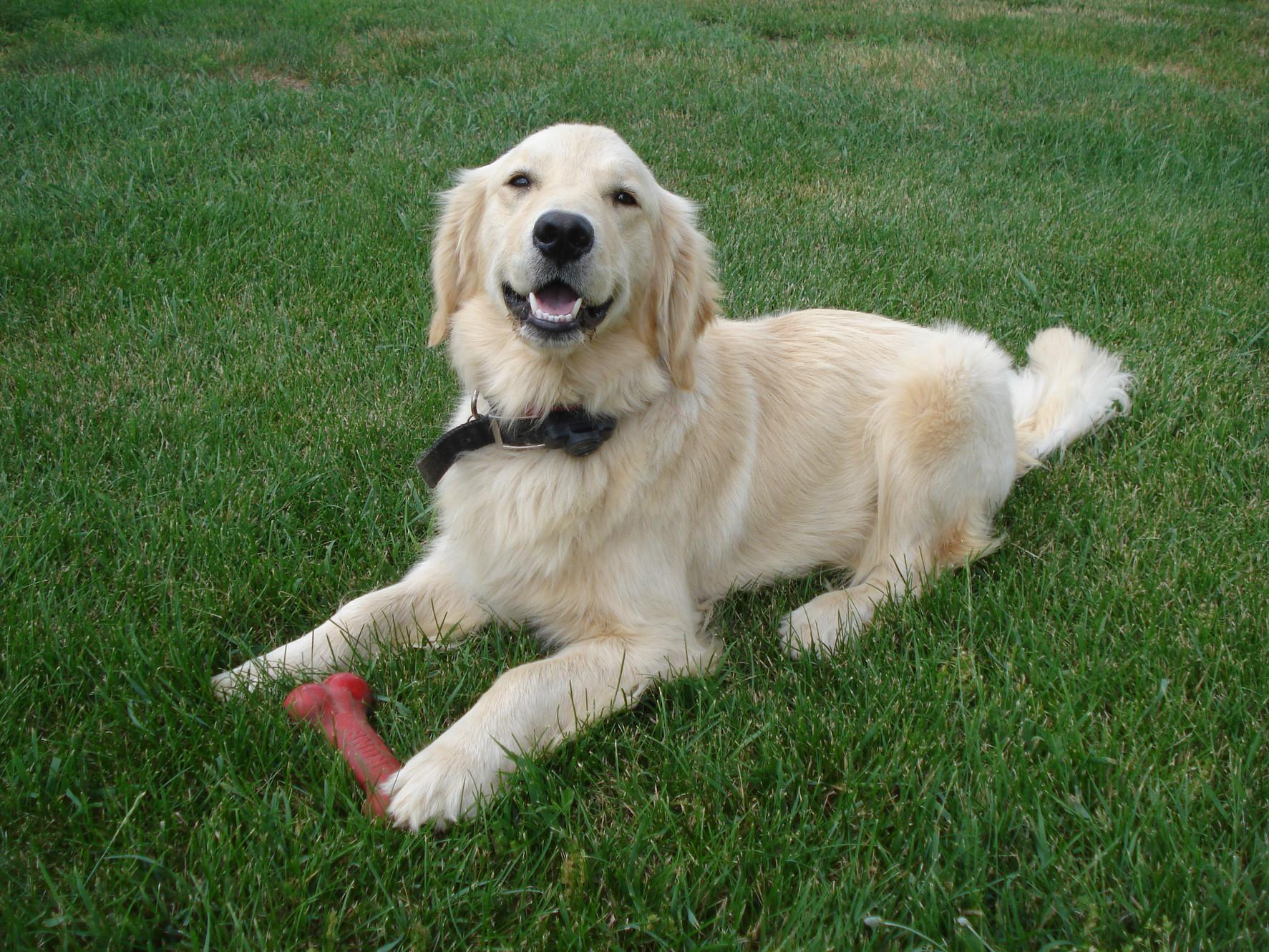 Golden Retriever Puppies for Sale | Wawaka, Indiana