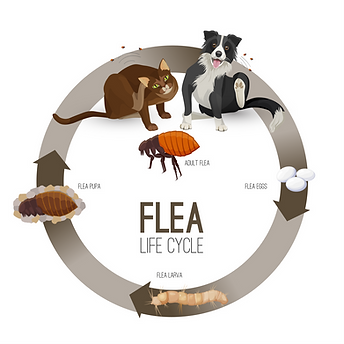 FleaLifecycle.png