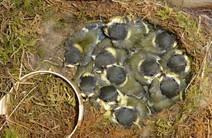 Een zwaluwnest, gemaakt in de wcpot