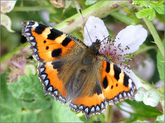 Kleine vos vlinder