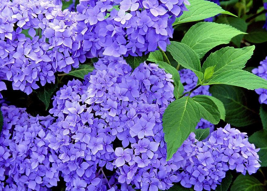 hydrangea-shrub-flower-herb-branches-fre