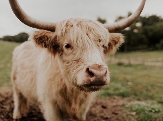 Maggie the Scottish Highland Cow