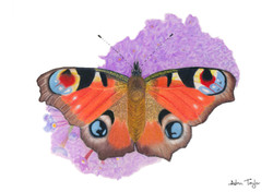 Peacock Butterfly pastel painting by Alan Taylor Art