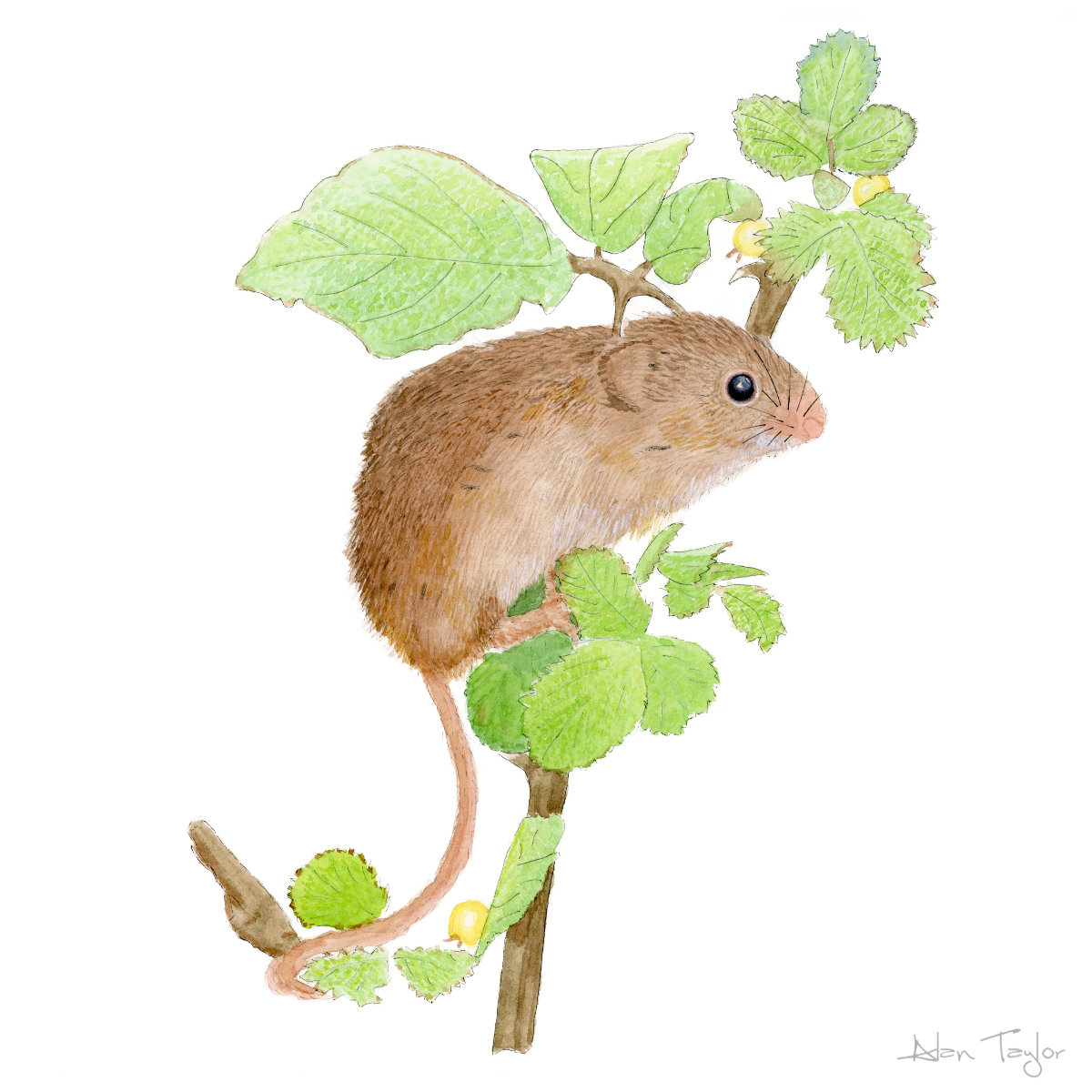 Harvest Mouse ink and watercolour painting by Alan Taylor Art