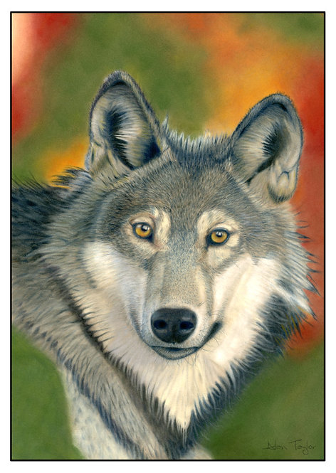 """Canis Lupus"" - Grey Wolf.  5 Greeting Cards A6 when folded, with envelopes."