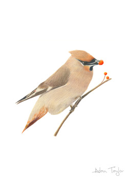 Waxwing colour pencil drawing by Alan Taylor Art