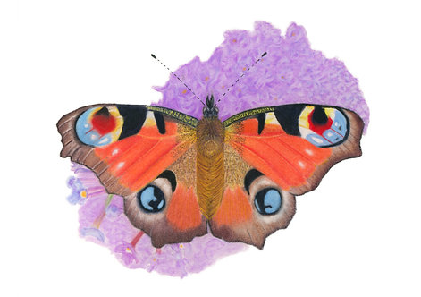 """Peacock Butterfly"" Giclée fine art print edition."