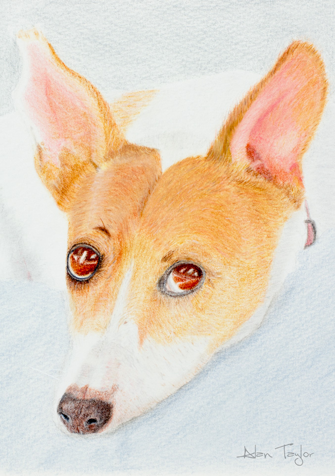 "Jack Russell- ""My Rescue Dog"" colour pencil drawing by Alan Taylor Art"
