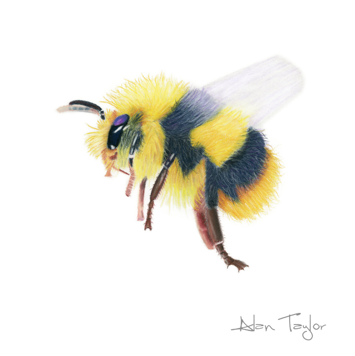 """Flight of the Bumblebee"" pastel painting by Alan Taylor Art"