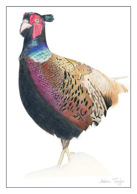 """""""Male Pheasant""""  5 Greeting Cards A6 when folded, with envelopes."""