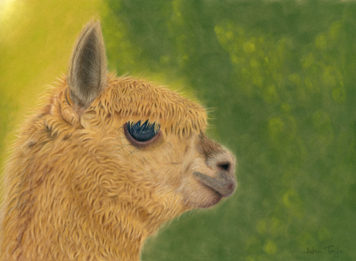 """Lady Gaia"" - Alpaca pastel painting by Alan Taylor Art"
