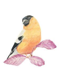 Bullfinch-giclee-print-alan-taylor-art-1