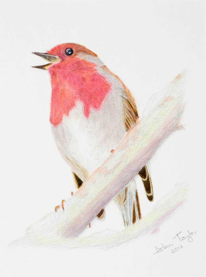 Robin colour pencil drawing by Alan Taylor Art