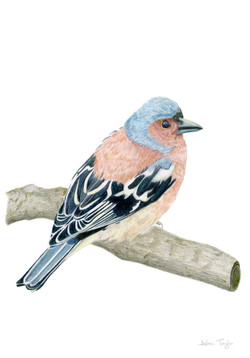 Chaffinch colour pencil drawing by Alan Taylor Art